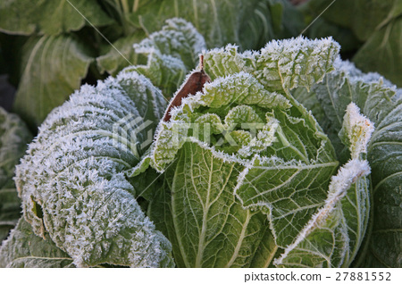 首页 照片 蔬菜_食品 叶_叶菜类 大白菜 霜冻的早晨  *pixta限定素材