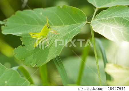 蚂蚱拿树叶简笔画