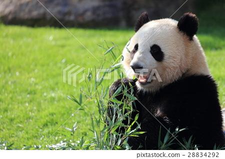 图库照片: 熊猫 竹叶草 动物