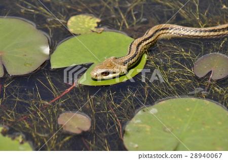水上运动 游泳 照片 浅黄色的蛇 大毒蛇 蛇 首页 照片 运动_运动 水上