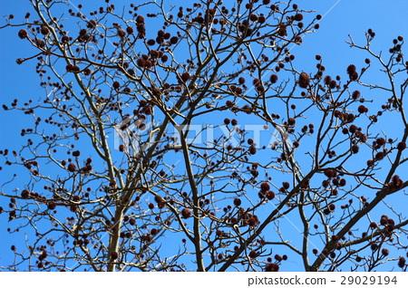 图库照片: 蓝天和落叶树图片