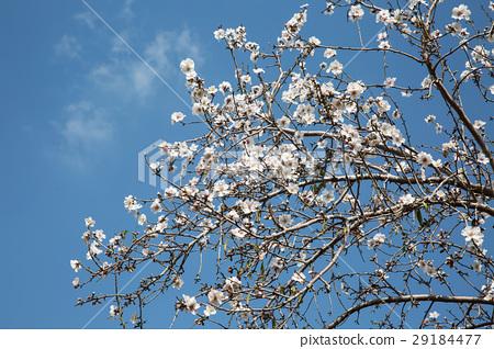 图库照片: almond flower trees at spring