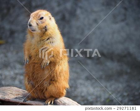 图库照片: 北美的草原土拨鼠 动物园 动物