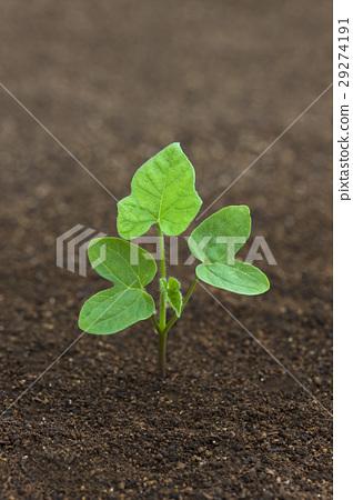 图库照片: 牵牛花和黑土成长过程学校教育科学的子叶