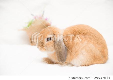 图库照片: 荷兰垂耳兔 垂耳兔 迷你兔