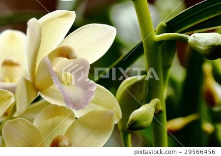 照片 植物_花 花 花瓣 兰花 黄花 大头照  pixta限定素材      兰花