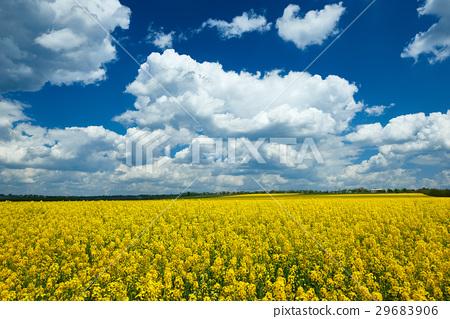 图库照片: yellow flower field, beautiful spring landscape