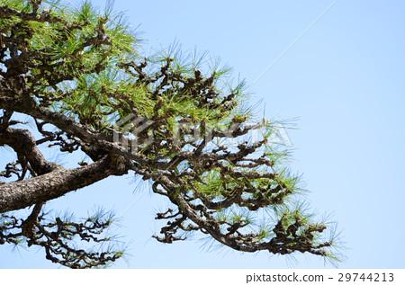图库照片: 松树 背景材料 背景素材