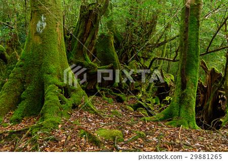 图库照片: 屋久岛 世界自然遗产地 森林