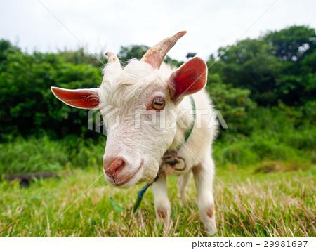图库照片: 山羊 雪羊 动物
