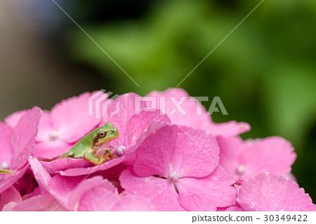 图库照片: 绣球花 粉红色 粉色