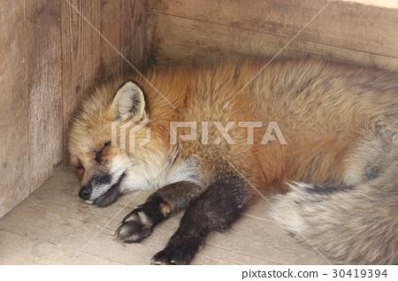 图库照片: 动物 狐狸 睡觉