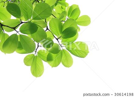 图库照片: 日本大叶木兰 绿色 植物