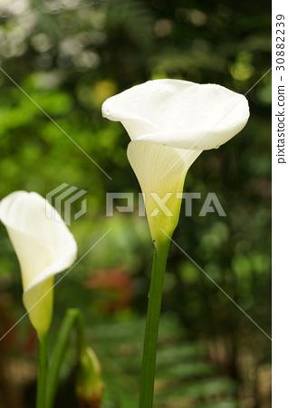 照片 姿势_表情_动作 表情 可爱 海芋 花朵 花卉  *pixta限定素材仅在