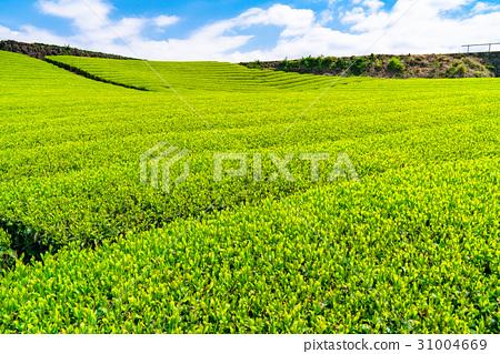风景_自然 大地 原野 照片 茶园 茶叶 原野 首页 照片 风景_自然 大地