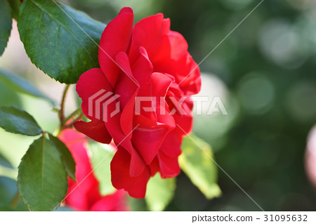 图库照片: 玫瑰 玫瑰花 可爱