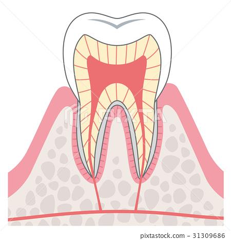 图库插图: 牙齿的结构横截面