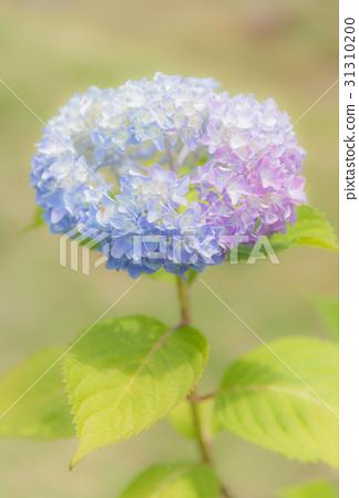 首页 照片 人物 男女 日本人 日本 大阪县 绣球花  *pixta限定素材仅