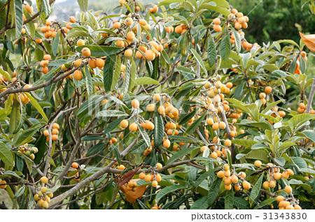 图库照片: 枇杷 水果 琵琶