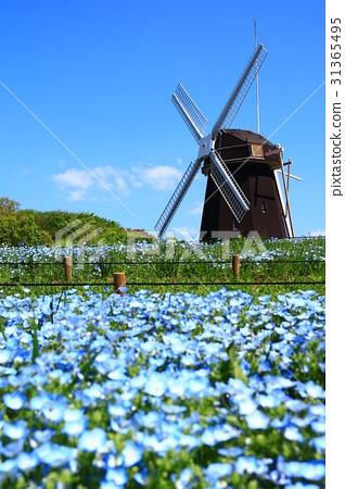 图库照片: 林草属植物(一种园艺观赏植物) 鹤见绿地 风车