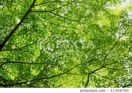 首页 照片 植物_花 树_树木 红叶 红叶 青枫 青枫叶  *pixta限定素材
