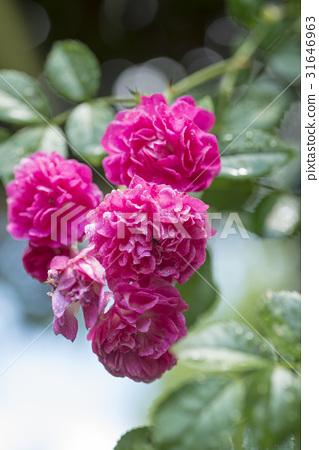 玫瑰花 首页 照片 姿势_表情_动作 表情 可爱 玫瑰藤 玫瑰 玫瑰花  *