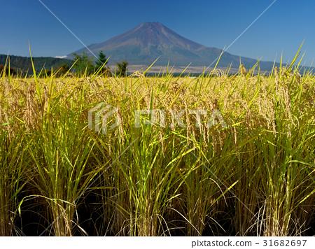 图库照片: 富士山 稻田 丰收
