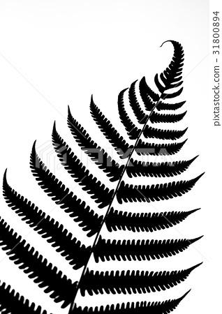 图库照片: 黑白 白色背景 去背 植物 叶子 蕨类 素材