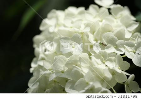 首页 照片 植物_花 绣球花 安娜贝尔 绣球花 白色  *pixta限定素材仅