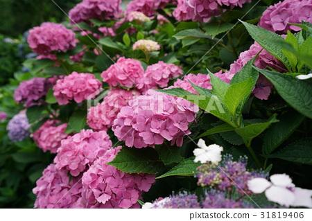 图库照片: 粉红色 粉色 绣球花