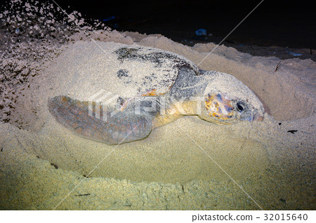 图库照片: 产蛋 红海龟 海龟