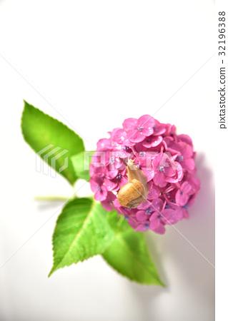 昆虫_虫子 蜗牛 蜗牛 绣球花 花朵  *pixta限定素材仅在pixta网站,或p