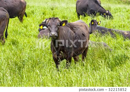 图库照片: 肉牛 菜牛 动物