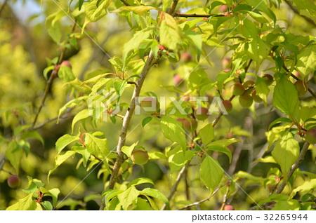首页 照片 植物_花 梅花 梅花 梅 日本梅子 梅花  *pixta限定素材仅在