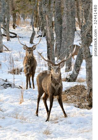 图库照片: 鹿 动物 冬天