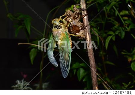 昆虫_虫子 蝗虫 蝉 蝗虫 昆虫出现  *pixta限定素材仅在pixta网站,或