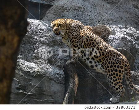 图库照片: 动物园 动物 豹子