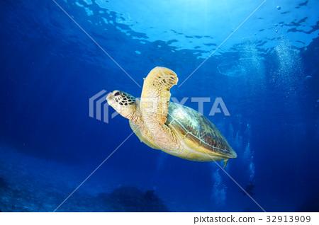 海洋动物 海龟 照片 海底的 海里 乌龟 首页 照片 动物_鸟儿 海洋动物