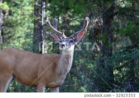图库照片: 鹿 加拿大马鹿 野生动物