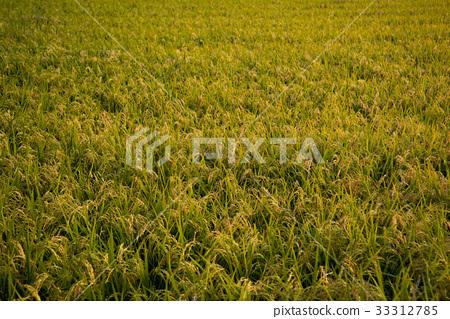 风景_自然 田地_稻田 稻田 照片 水稻 稻田 丰收 首页 照片 风景_自然