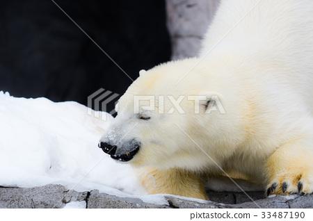 北极熊 首页 照片 姿势_表情_动作 表情 可爱 北极熊  *pixta限定素材