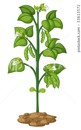 green pea on the plant