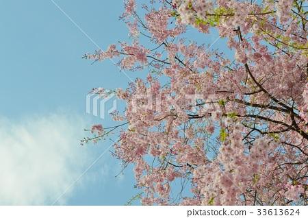 表情 可爱 八重红垂樱 下落的粉色樱花 重瓣樱树  *pixta限定素材仅在