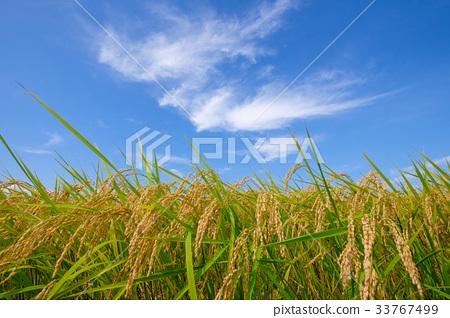图库照片: 稻穗 稻田 丰收