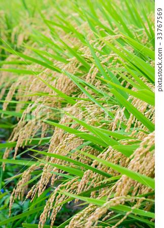 风景_自然 田地_稻田 稻田 照片 稻穗 稻田 丰收 首页 照片 风景_自然