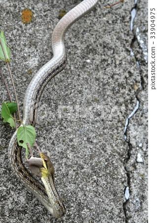 图库照片: 浅黄色的蛇 日本条纹蛇 壁虎