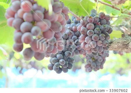 图库照片: 葡萄采摘 葡萄 农场