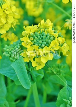图库照片: 油菜花 油菜 花蕾