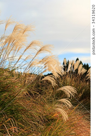 首页 照片 风景_自然 季节 秋 日本蒲苇 芒草 芒花  *pixta限定素材仅