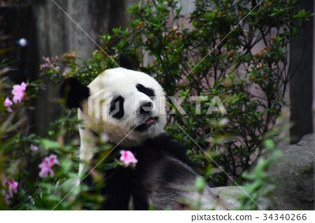 图库照片: 熊猫 大熊猫 动物